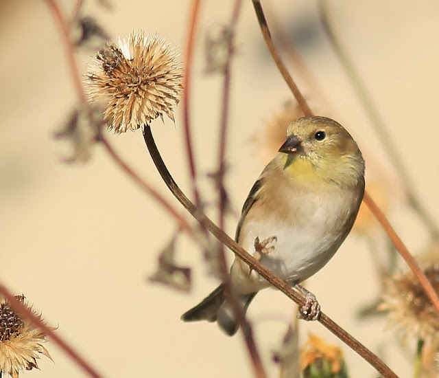 NJ State Bird Prepares For Winter | Nature On The Edge Of New York City