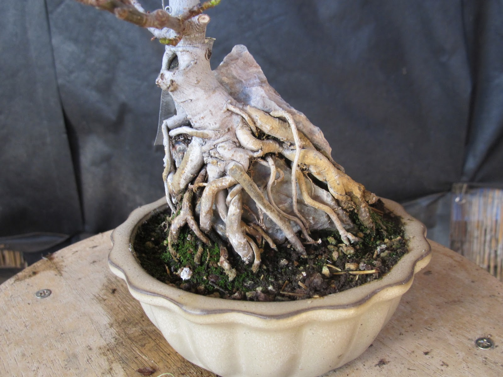 Bonsaibp39s Bonsai Blog Root Over Rock 101