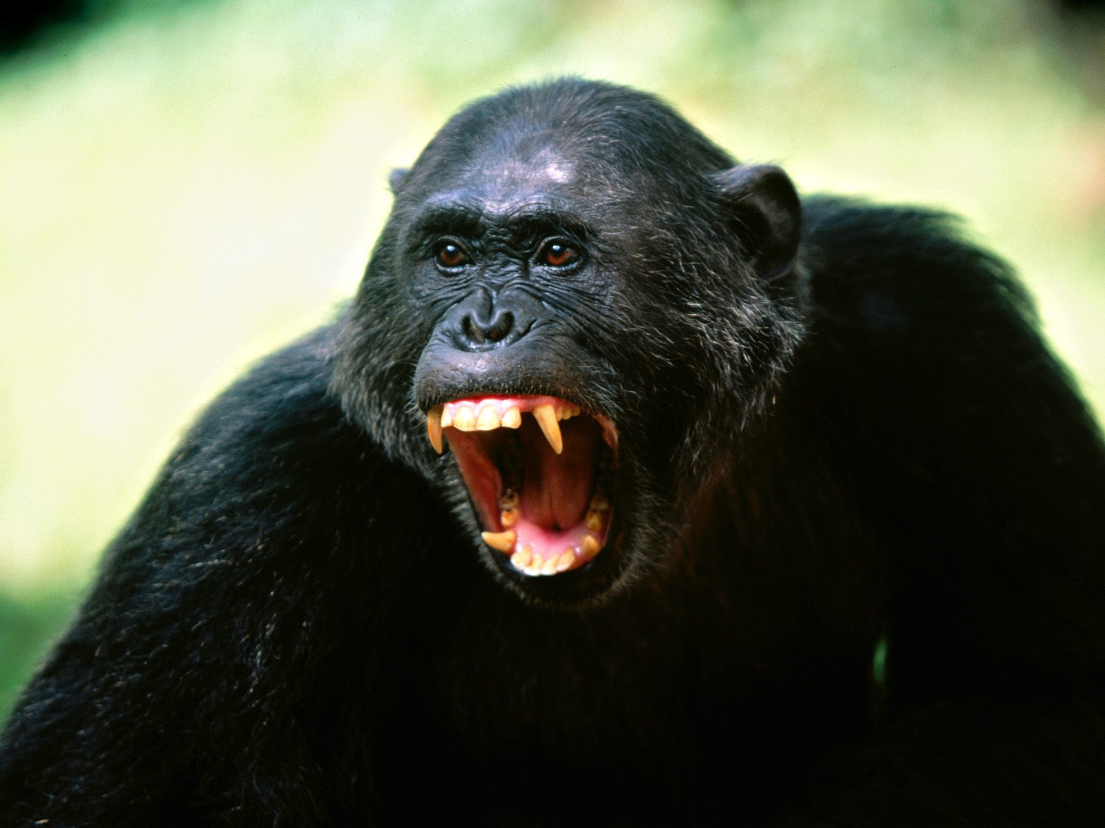 The Shocking Truth About Pet Chimpanzees - Is A Chimpanzee ...