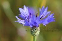 photo bleuet