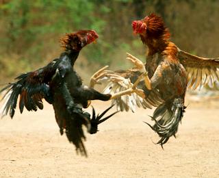 Cara merawat ayam aduan agar selalu fit