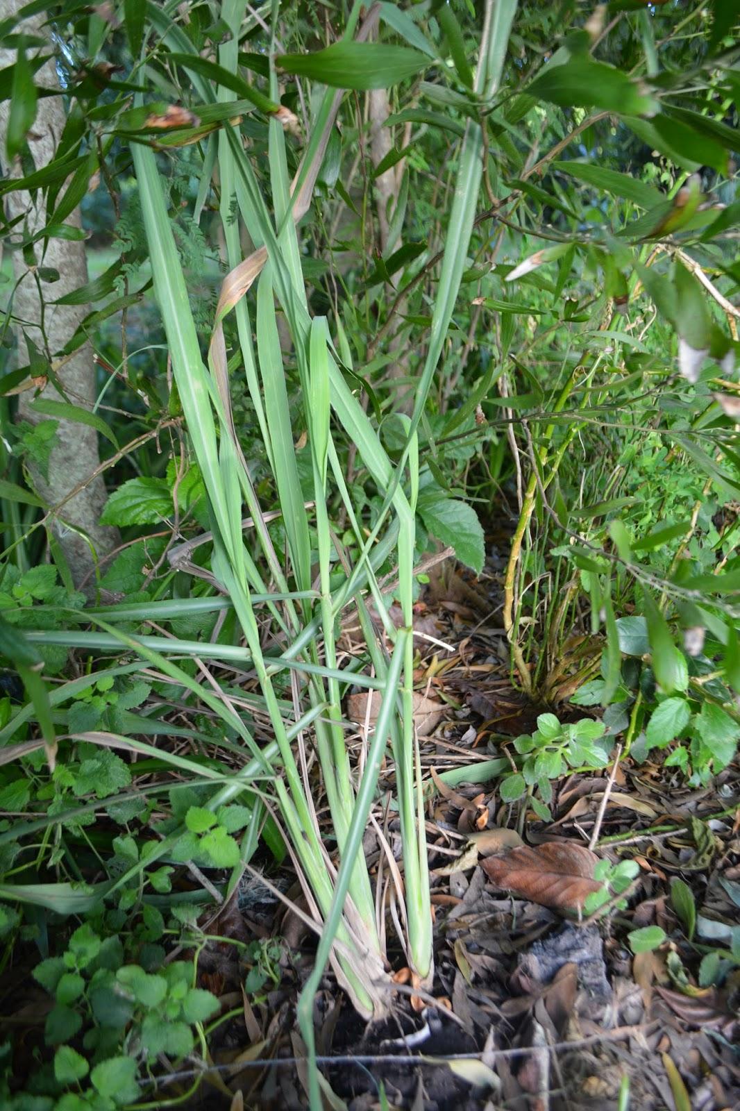 Lemongrass. Cedrón paraguayo.