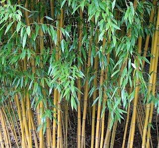 http://4.bp.blogspot.com/-VMKQhYBjWbo/T3QfsyDqKtI/AAAAAAAAASc/RrmvO6hcni8/s1600/bambu_kuning.jpg