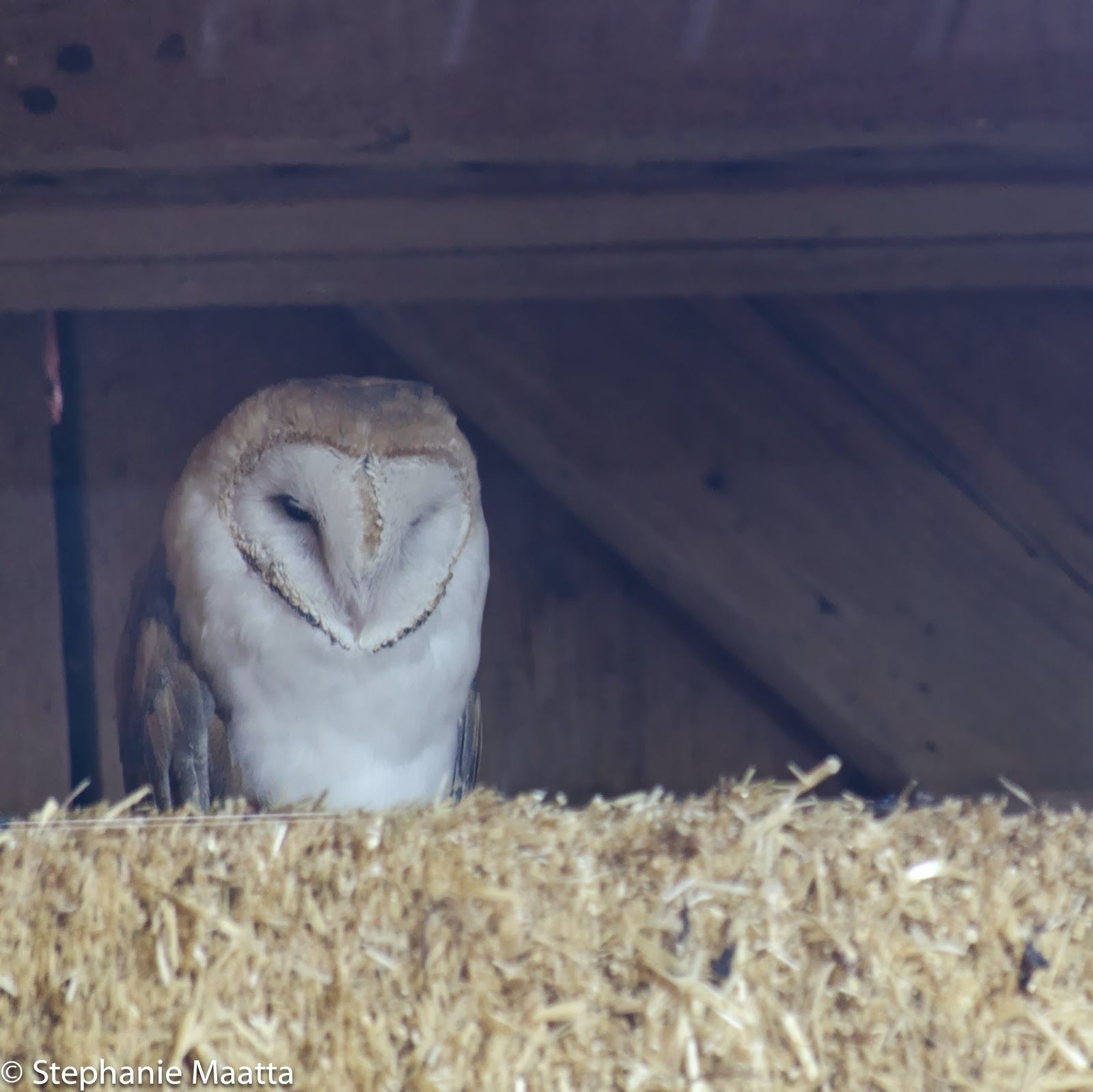 barn owl in barn rafters at Detroit Zoo
