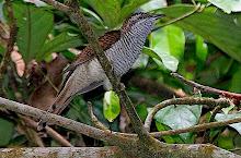 Banded Bay Cuckoo_2011