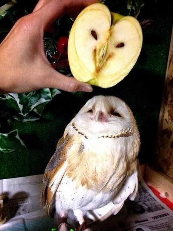 Funny animals of the week - 10 January 2014 (35 pics), owl and an apple with owl shape