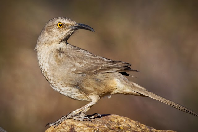 Curved Bill Thrasher Bird Curve Billed Thrashers Are