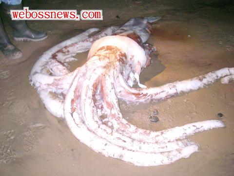 大王魷魚3