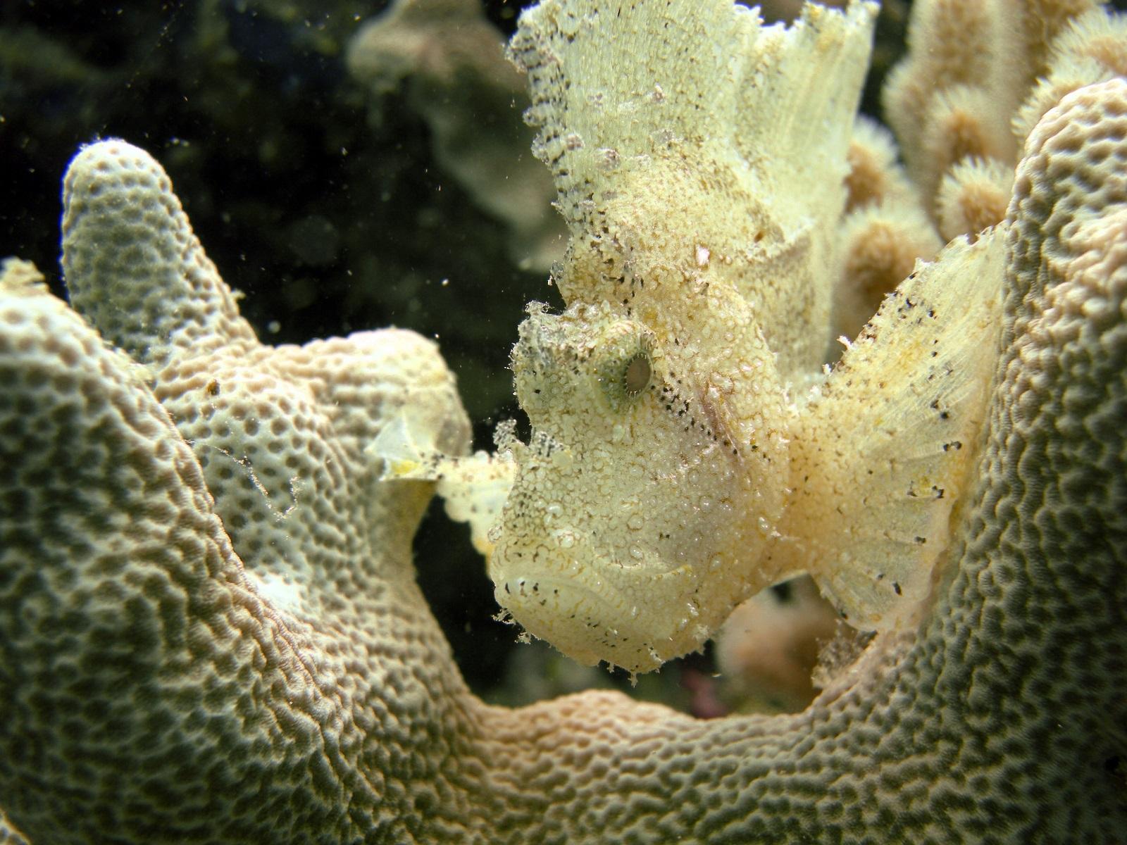 leaf scorpionfish-#48