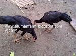 Ayam Petarung Betina