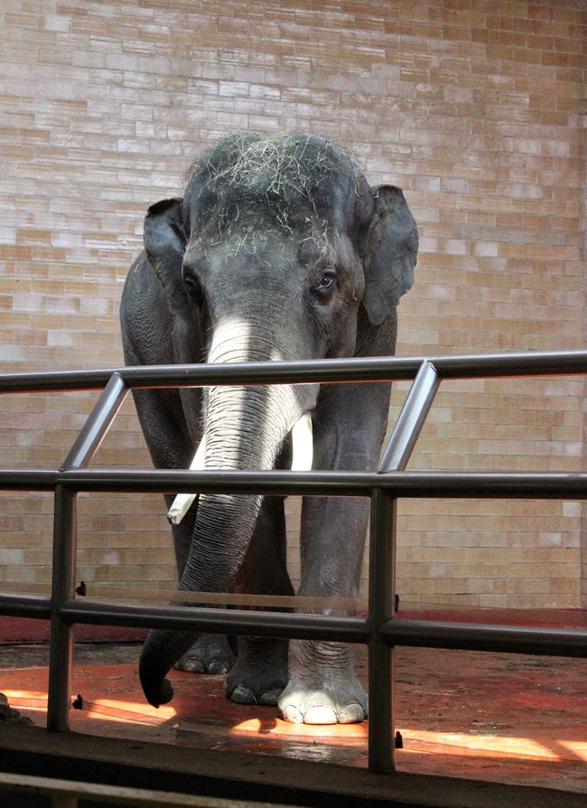 animal world, elephant in the zoo