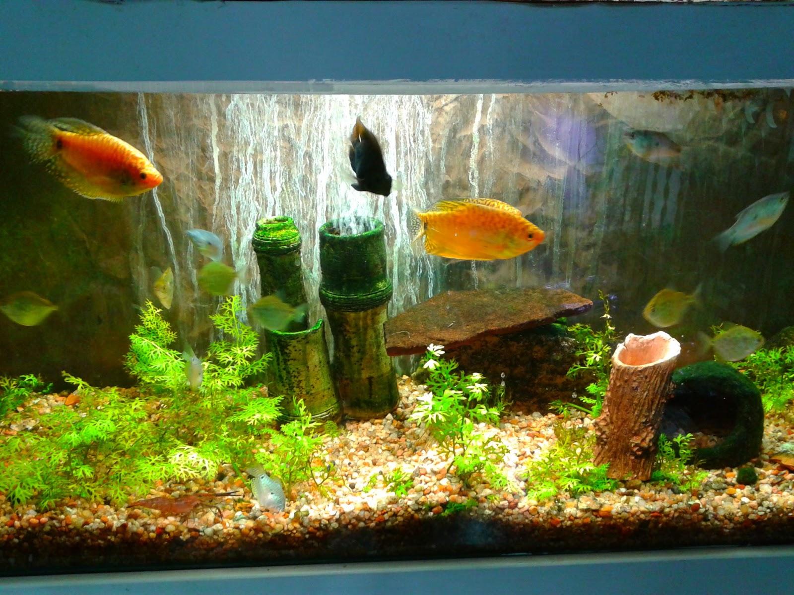 Como reconocer los tipos de pecera acuario decorpez for Cuidados acuario agua fria
