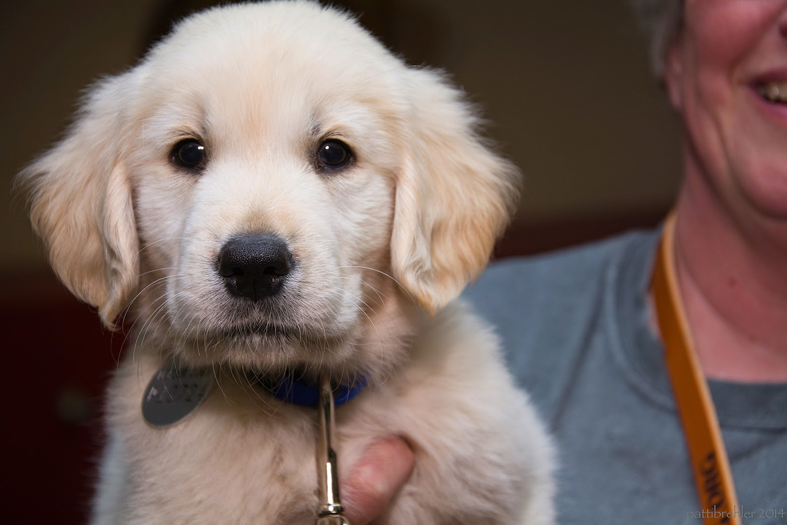 A close shot of a fuzzy white golden retriever puppy being held by a woman just off camera to the right. The puppy is looking right at the camera and has dark eyes and a black nose.