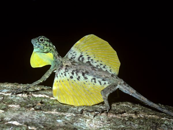 السحليه الطائره الدراكو flying-lizard-draco-