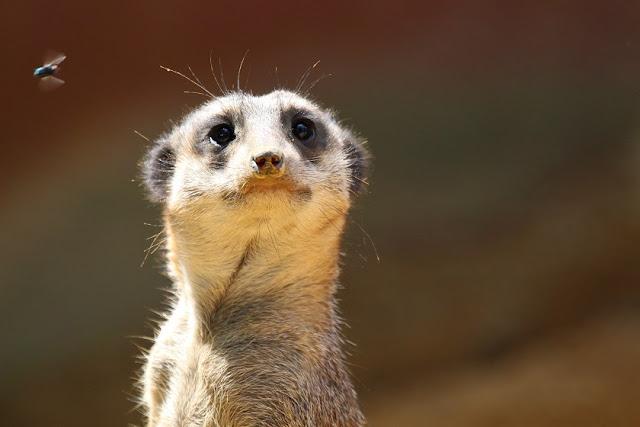 Tierfotos - Tierbilder - Erdmännchen