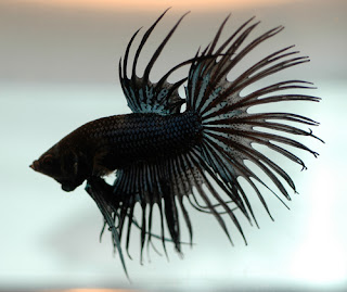 12 Type Of Betta Fish By Tail Types - Crowntail
