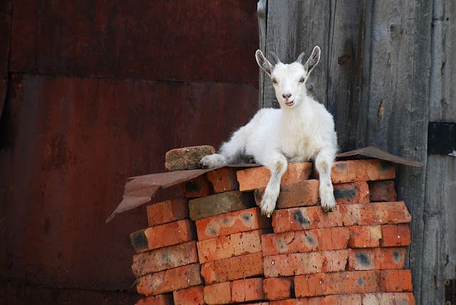 Белый козленок