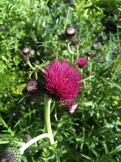 Cirsium is a possible cure for piles.