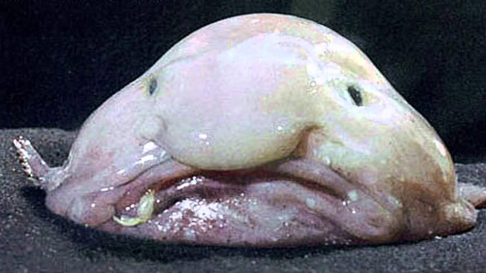 [Image: Blobfish2.jpg]