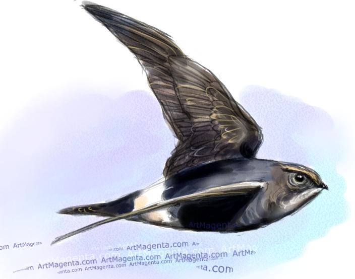 White-rumped Swift sketch painting. Bird art drawing by illustrator Artmagenta