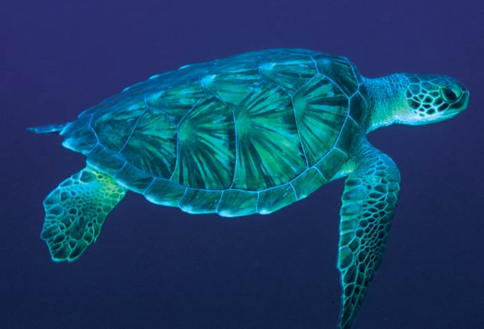 sea turtle wallpaper. Sea Turtle Wallpapers