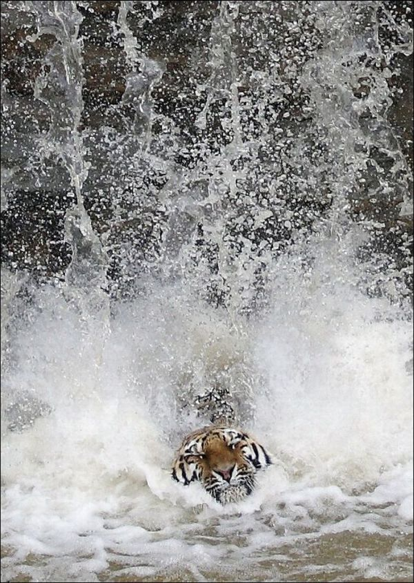 Tiger Jumps Down Seen On www.coolpicturegallery.us