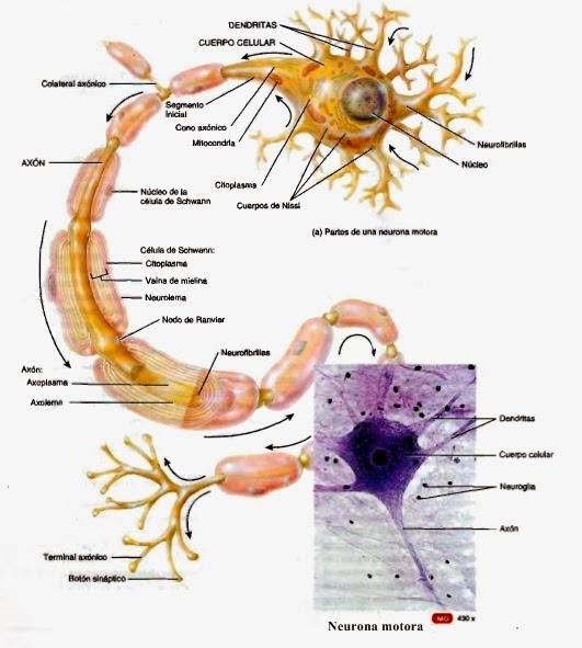 Estructura anatmica de la neurona  Anatoma humana general