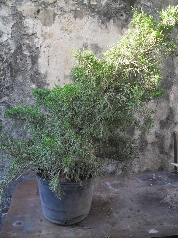 Bonsai web 1 modelado para un juniperus de vivero for Viveros baratos