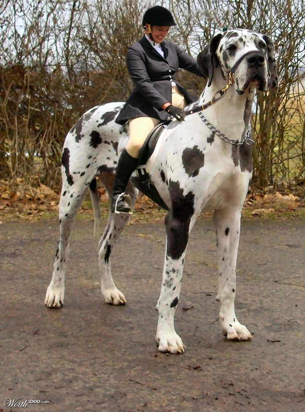 Cute Dogs: Great Dane Dogs