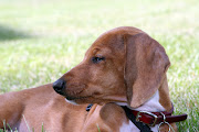 Treasure the Dachshund: Puppy Pictures of Me!