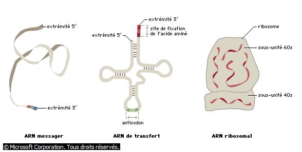 Différents types d'ARN