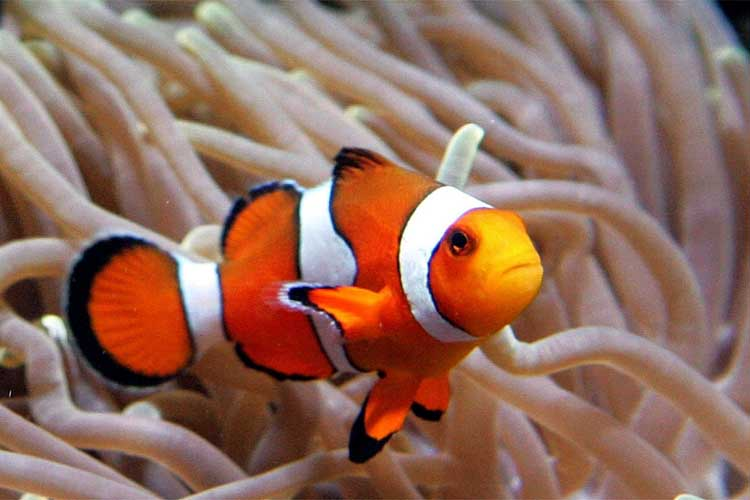 Do your homework better and faster for Freshwater clown fish