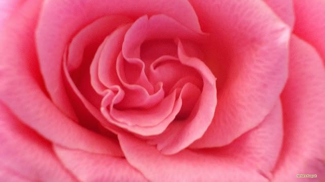 Achtergrond met roze roos