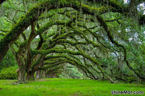 Avenue of Oaks, Dixie Plantation ,South Carolina