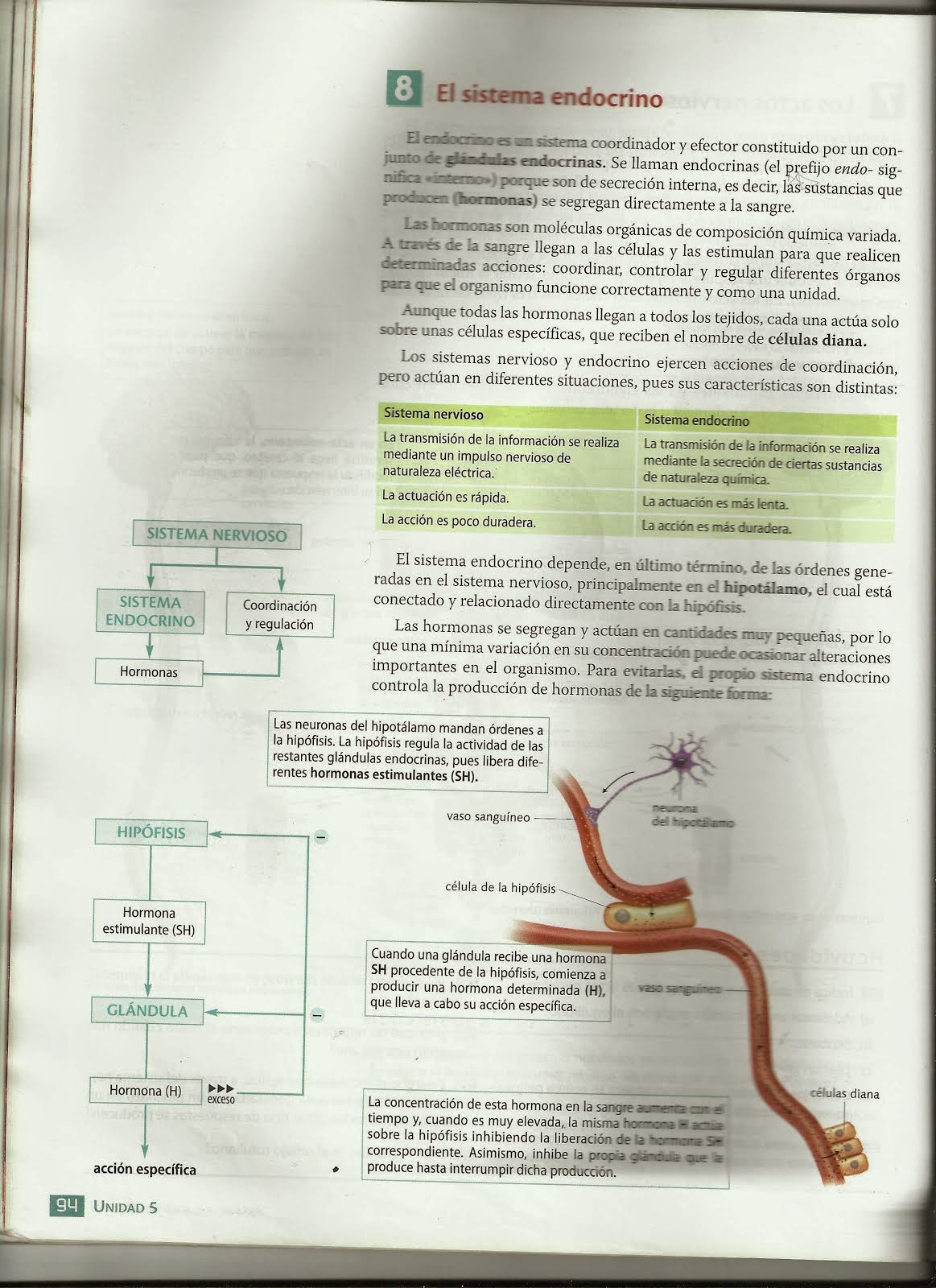 Sistema Endocrino: Curiosidades del sistema endocrino