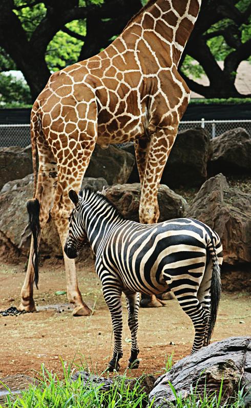 zebra honolulu zoo hawaii