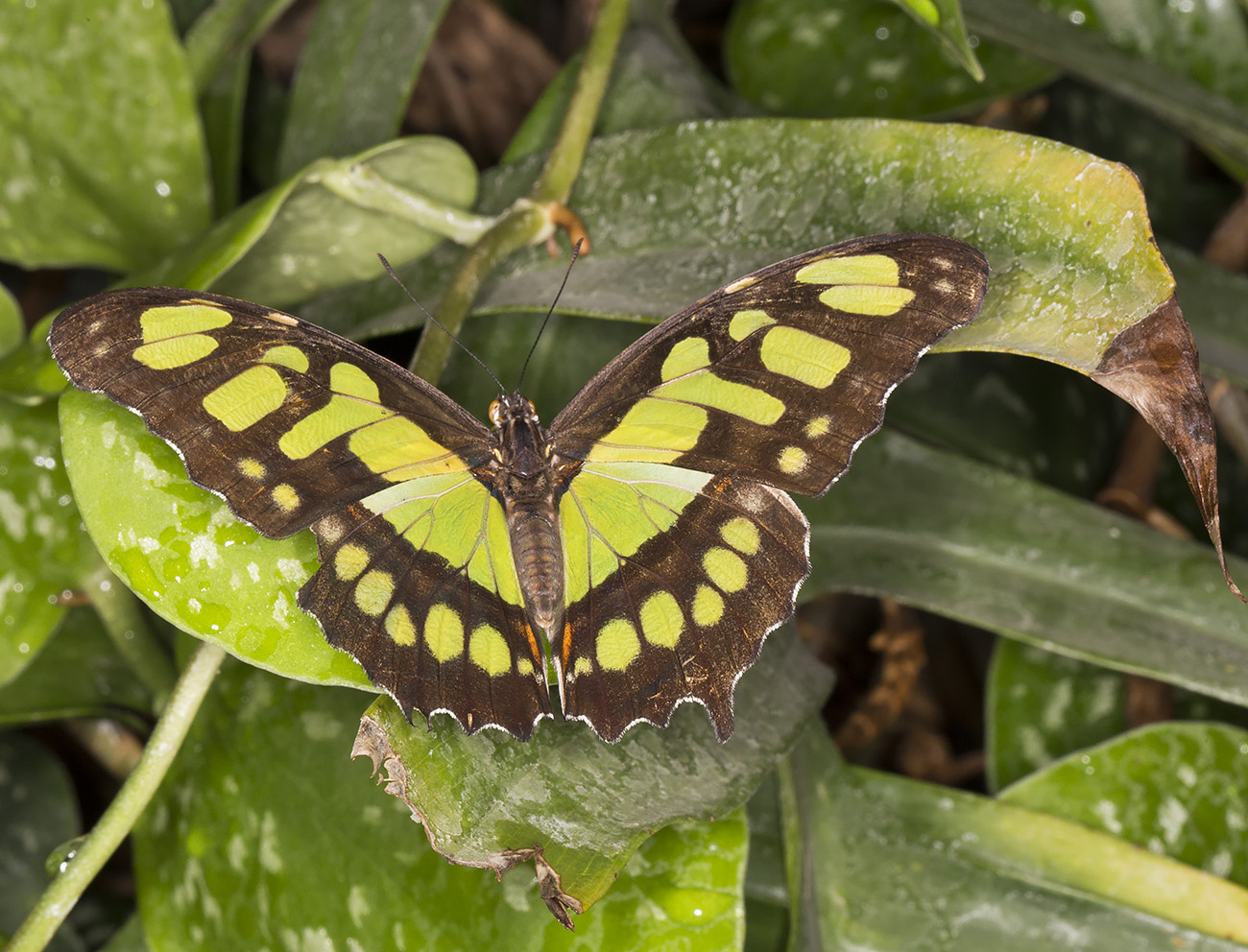 Malachite, Siproeta stelenes.  Wisley Gardens, Butterflies in the Glasshouse, 10 February 2015.