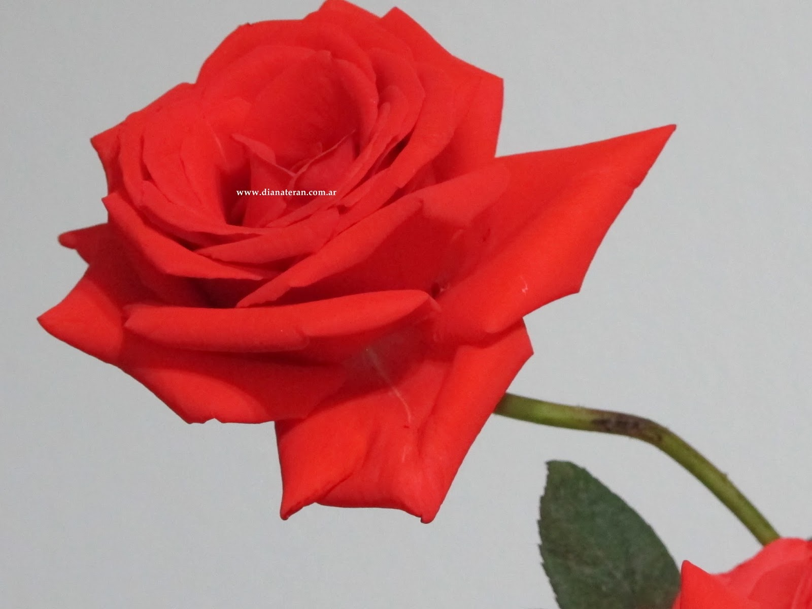 Imagenes De Rosas De Distintos Colores - rosas de color rosa de imagen Descargar Fotos gratis