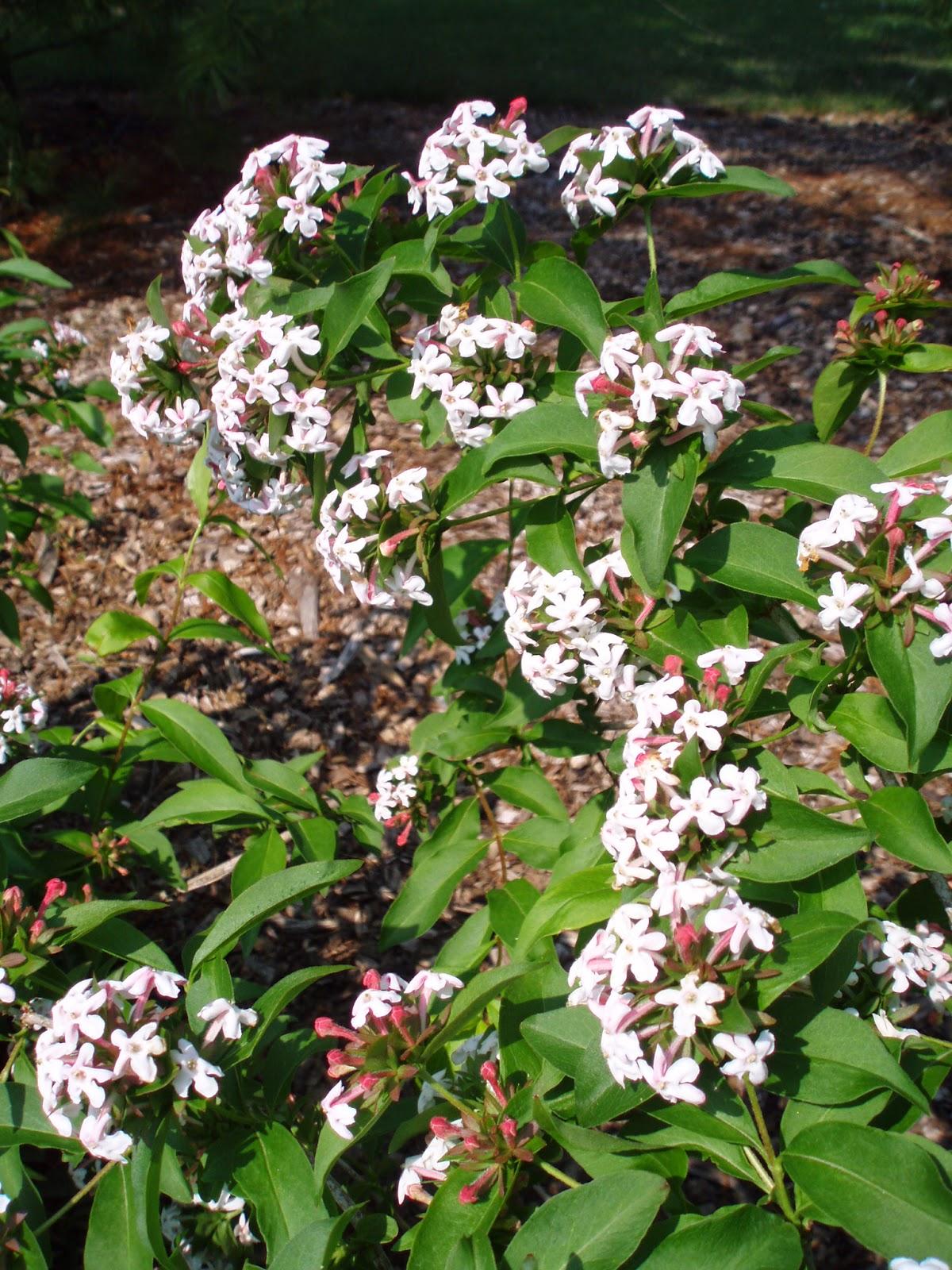 Fragrant Abelia For Spring Scent Marks Garden Ruminations