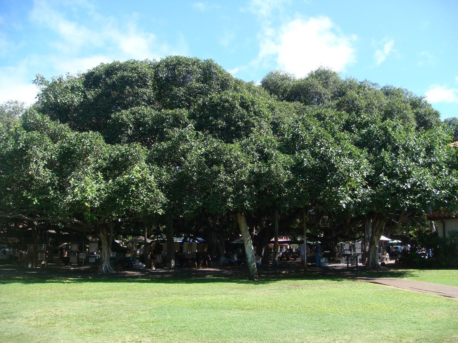MAUI+~+West+Maui,+Lahaina+-+The+Banyan+Tree.JPG