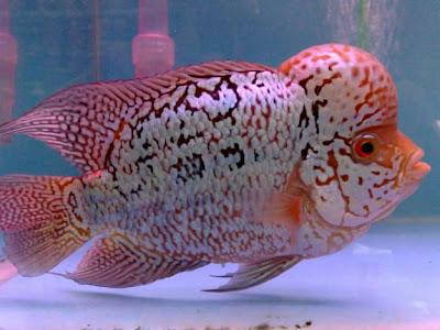 Aquarium fish others flower horn for Flower horn fish
