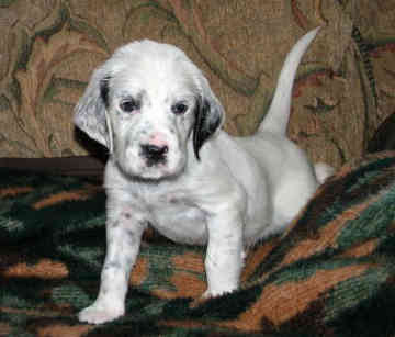 English Setter Puppies on Dog Breed   Dog Breeds   Dog Pictures  English Setter Puppy