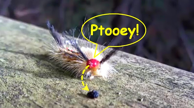 White-Marked Tussock Moth Caterpillar spits a grape