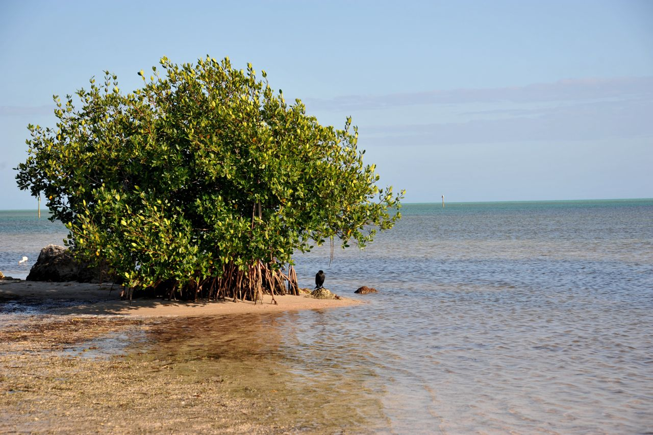 a mangrove tree curry hammock state park crazy little thing called blog  february 2012  rh   scientika blogspot