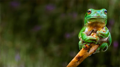 A frog clings to the tip of a branch, Adelaide, Australia (© Rob Sturman/Corbis) 184