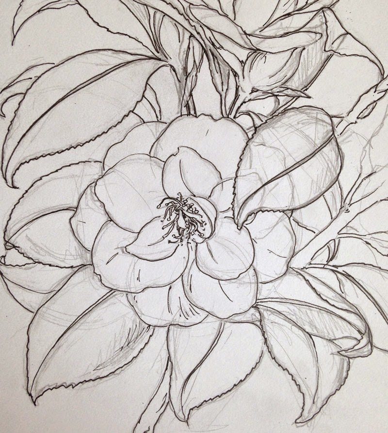 Camellia Flower Line Drawing : Dianne sutherland day and camellia magnolia