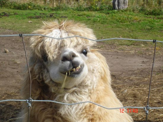 Hilarious Llama Pictures Funny Llama Quotes. Qu...