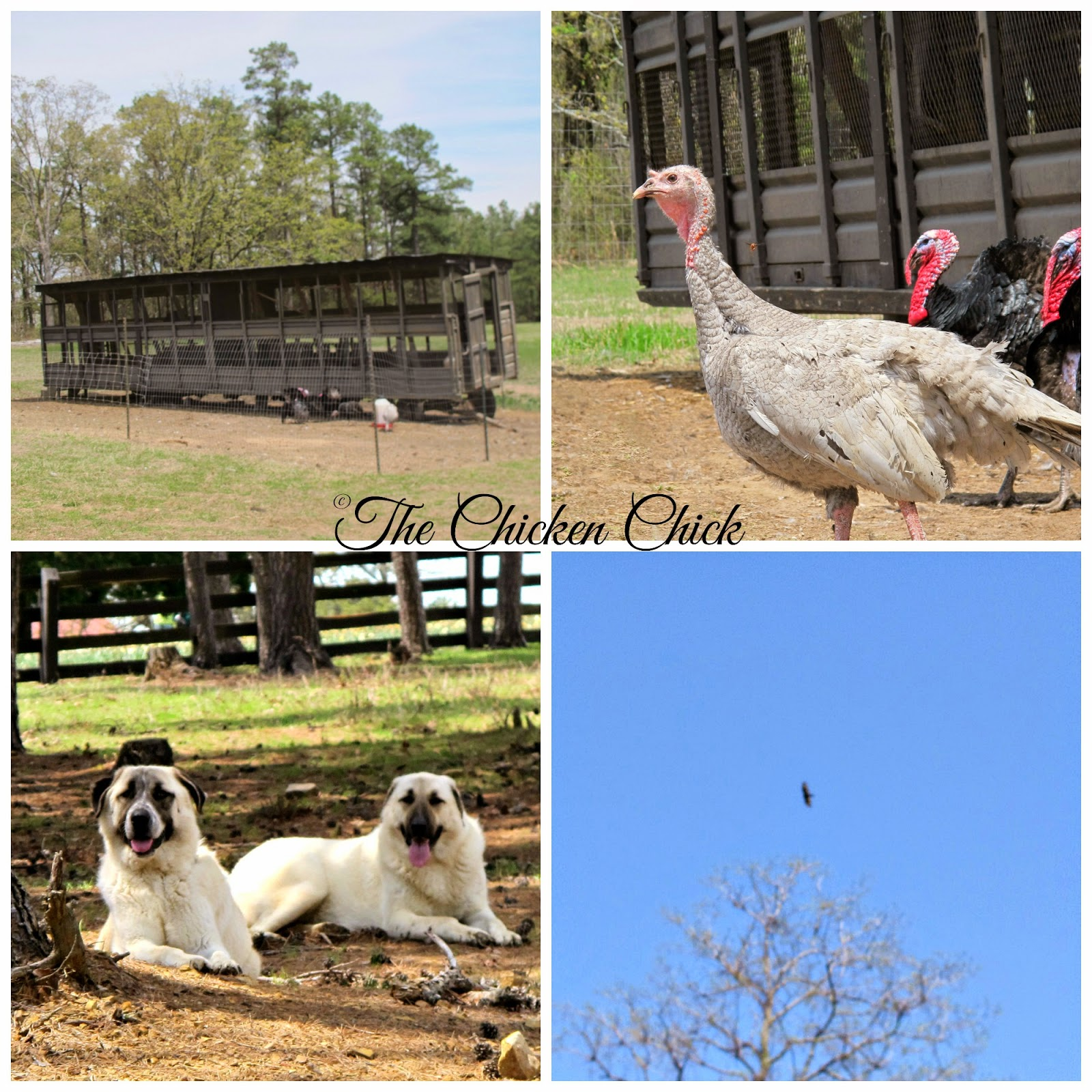 The turkey trailer, Anatolian Shepherds, turkeys and a raptor looking for lunch at P Allen Smith's Moss Mountain Farm