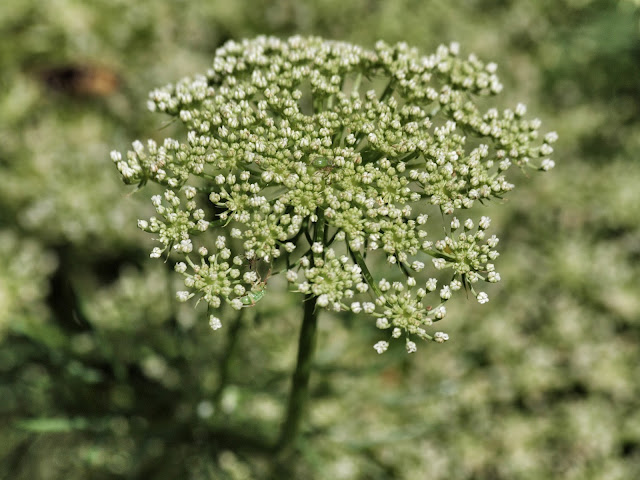 Queen Anne's Lace #snapseed # queenanneslace #centralpark #conservatorygarden