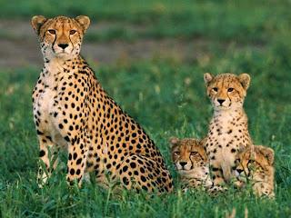 Foto Bayi Cheetah dan Induknya